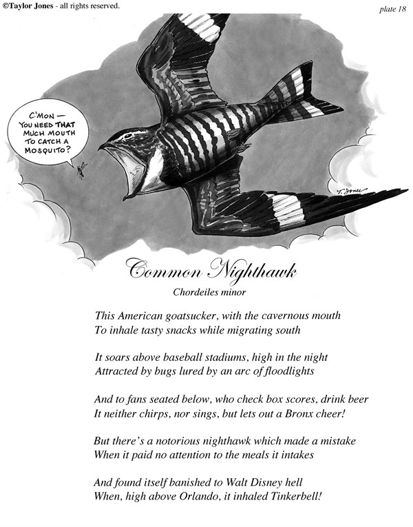 Taylor Jones - Politicalcartoons.com - Taylor Jones Field Guide for the Birds - Plate 18 - English - 		common,nighthawk,birds,goatsucker,birding,birdwatching,ornithology,nature,field,guide